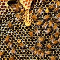 Οι μέλισσες καταλαβαίνουν το νόημα του μηδενός